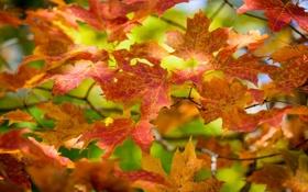 Обои листья, осень, ветка, макро, цвета