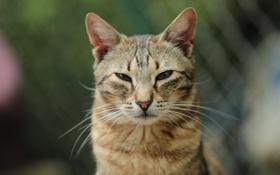 Картинка глаза, усы, фон, котяра, моська