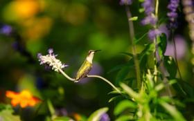 Картинка листья, природа, птица, зелень, колибри, цветы