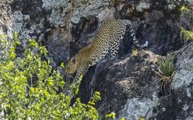 Картинка скалы, леопард, leopard, крадётся