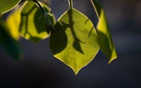 Картинка лето, листья, макро, свет, тень, ветка, зелёный