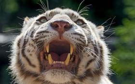 Обои кошка, морда, клыки, оскал, белый тигр, ©Tambako The Jaguar