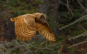 Картинка полет, сова, птица, хищник