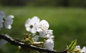 Обои весна, вишня, цветение, лепестки, свежесть, листья, белые