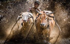 Обои гонка, грязь, быки