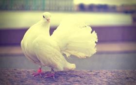 Картинка белый, птица, Голубь, Санкт-Петербург, свадьба