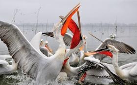 Обои вода, птица, крылья, клюв, пеликан