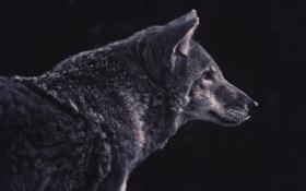 Картинка волк, хищник, профиль