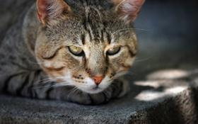 Обои взгляд, морда, Кот