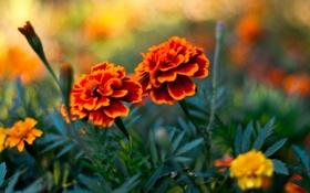 Обои трава, лепестки, Бутоны, flowers