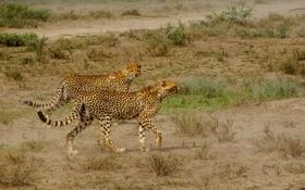 Картинка кошки, природа, Cheetah