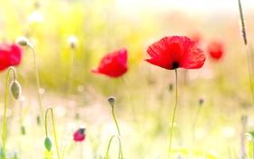 Обои poppy, field, цветы, spring flowers, маки
