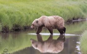 Картинка отражение, медведь, Аляска, Alaska, речка, Lake Clark National Park