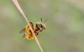 Обои насекомое, пчела, макро, пыльца