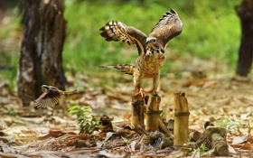 Картинка птицы, жертва, хищник