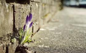 Обои цветок, дорога, фото, растение, тротуар, весна, макро