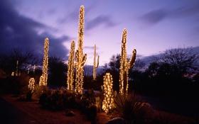 Обои кактусы, вечер, гирлянды, огни