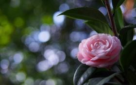 Картинка розовый, цветок, лепестки, камелия