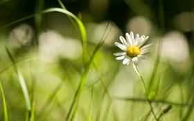 Картинка цветок, ромашка, трава, свет, макро, боке