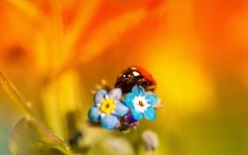 Обои природа, насекомое, божья коровка, лепестки, цветы