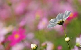 Картинка лето, макро, цветы, фокус, белая, солнечно, полевые