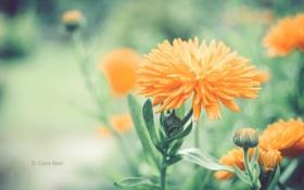Картинка цветок, бутоны, Clare Beet, оранжевый, размытость, цветы