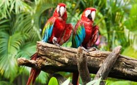 Обои птицы, попугаи, birds, ара, parrots