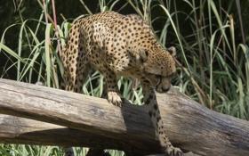 Обои пятна, лапы, гепард, дикая кошка, когти, тень, свет