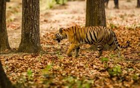 Обои полоски, хищник, маскировка, прогулка, дикая кошка, бенгальский тигр