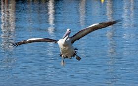 Обои вода, птица, крылья, пеликан
