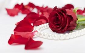 Обои фото, Цветы, Лепестки, Розы, Бордовый