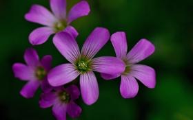 Обои природа, растение, лепестки, цветы