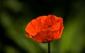 Обои макро, цветы, красный, фото, маки, красные, красивые обои для рабочего стола