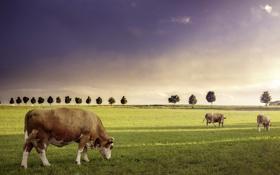 Обои поле, лето, коровы, скот