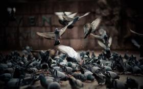 Картинка полет, птицы, улица, голуби, серые, корм
