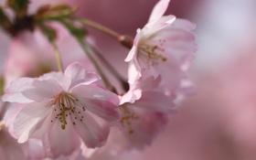 Обои розовый, весна, цвет, нежность