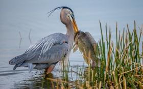 Обои вода, птица, рыба, клюв, пеликан