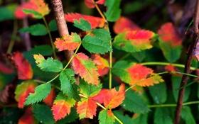 Обои осень, листья, куст, ветка