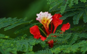 Обои цветок, листья, макро, лепестки, Делоникс королевский