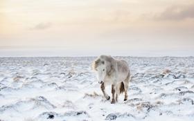 Обои природа, снег, конь