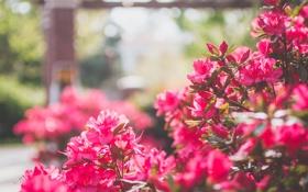 Обои цветы, кустарник, лепестки, розовые, куст