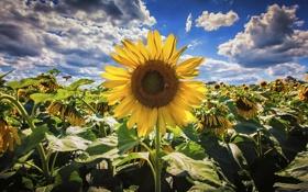 Картинка лето, подсолнухи, природа