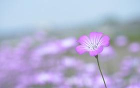 Обои розовый, фон, Цветок