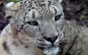 Картинка усы, взгляд, морда, хищник, ирбис, снежный барс, snow leopard
