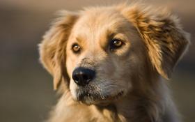 Картинка взгляд, морда, фото, друг, собака