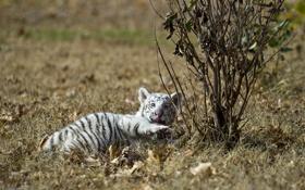 Картинка природа, хищник, тигрёнок