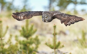 Обои полет, сова, птица, елки, ель, хвоя