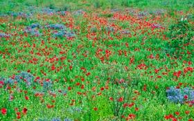 Обои луг, поле, трава, маки, цветы