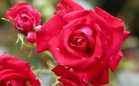 Обои бутоны, розы, лепестки, макро