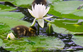 Картинка листья, бутоны, утёнок, утка, птенец, нимфея, водяная лилия